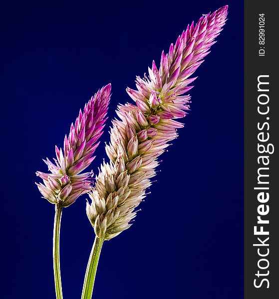 Purple and White Clustered Flower