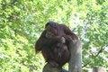 Free Orangutan Just Hanging Out Royalty Free Stock Image - 830626