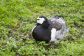 Free Barnacle Goose On Nest Stock Photo - 835840