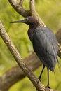 Free Small Blue Heron Royalty Free Stock Image - 837356