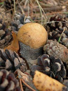 Free Birch Mushroom. Royalty Free Stock Photos - 830008