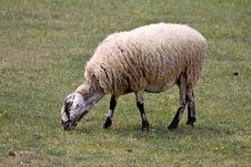 Free Sheep Stock Image - 830451