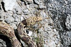 Free Bull Snake Stock Photo - 830830