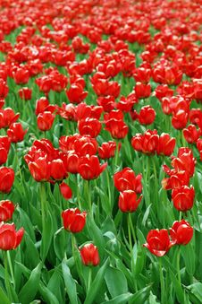 Red Tulip Field Royalty Free Stock Photography