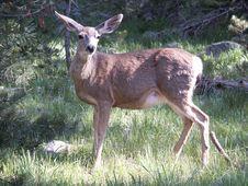 Free Deer Royalty Free Stock Images - 830989