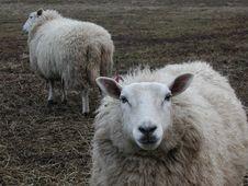 Free Sheep Royalty Free Stock Photo - 831095