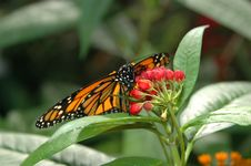 Free Monarch On Red Flowers Stock Photo - 831830
