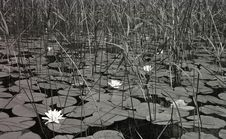 Free Waterlilies Stock Photography - 832452