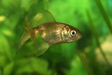 Free Gold Fish Stock Photo - 832630