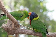 Free Parrots Grooming Eachother Royalty Free Stock Photos - 832728