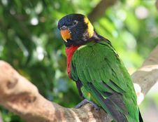 Rainbow Lorikeet In Tree Stock Images