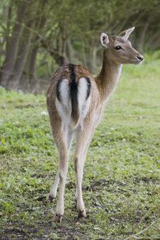 Free Fallow Deer Stock Image - 832831
