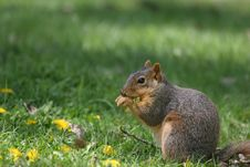 Free Squirrel Royalty Free Stock Photo - 833915