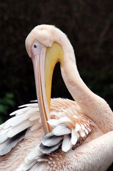 Free Pelican Stock Photography - 834022
