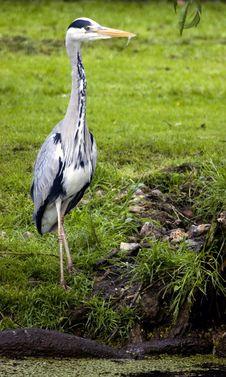 Free Grey Heron Stock Image - 835811