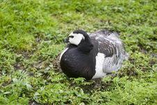 Barnacle Goose On Nest Stock Photo