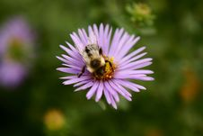 Free Bee On Flower Royalty Free Stock Photo - 836195