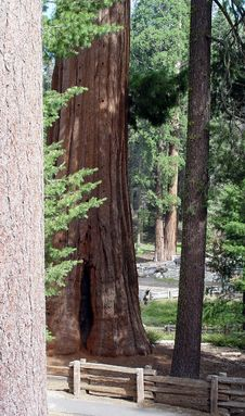 Free Sequoias Royalty Free Stock Images - 836559