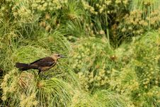 Free Juvenile Grackle Royalty Free Stock Photos - 837268