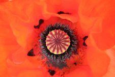 Free Poppy Head Royalty Free Stock Photo - 838345