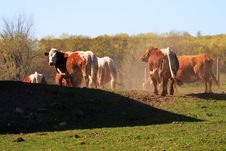 Free Cows. Stock Photography - 838672