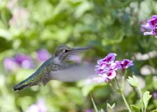 Hummingbird And Flower Stock Image