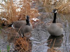Free Canada Geese Royalty Free Stock Photography - 839867