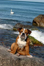 Free English Bulldog Puppy Playing On The Beach Royalty Free Stock Images - 8302819