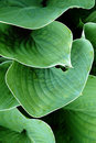 Free Detail Of The Big Green Leaves Royalty Free Stock Image - 8304626