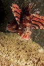Free Zebra Lionfish Stock Photography - 8306082