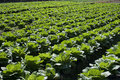Free Cabbage Field Stock Photo - 8306280