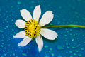 Free Chamomile With Water Drop Royalty Free Stock Photos - 8307438
