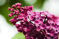Free Bunch Of Lilac Flower Stock Photo - 8307930