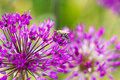 Free Bee On Violet Flower Stock Photos - 8307943