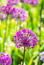 Free Abstract Violet Flowers Royalty Free Stock Images - 8307959