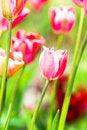 Free Close-up Of Pink Tulip Stock Photos - 8307983