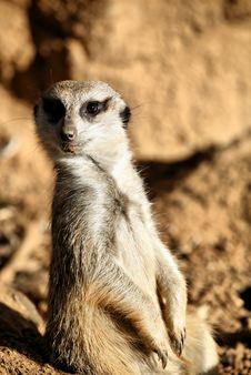 Free Meerkat Standing Up Stock Images - 8301024