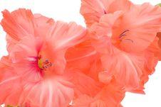 Free Red Gladiolus Stock Image - 8301171