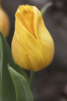 Free Tulip Stock Image - 8302331