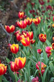 Free Tulip Stock Photo - 8302450