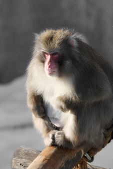 Free Monkey Royalty Free Stock Photography - 8302617