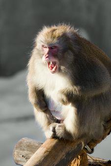 Free Laughing Monkey Royalty Free Stock Image - 8302826