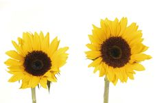 Free Sunflowers Stock Image - 8303081
