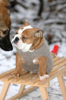 English Bulldog Sitting On A Sledge In The Snow Royalty Free Stock Photos