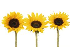 Free Sunflowers Stock Image - 8303121
