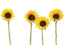 Free Sunflowers Stock Photography - 8303152