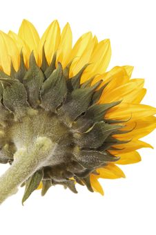 Free Sunflowers Royalty Free Stock Images - 8303289