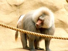 Free Monkey Stock Photography - 8303362
