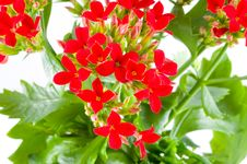 Free Beautiful Flower Of Kalanchoe Royalty Free Stock Images - 8303469