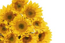 Free Sunflowers Stock Images - 8303484